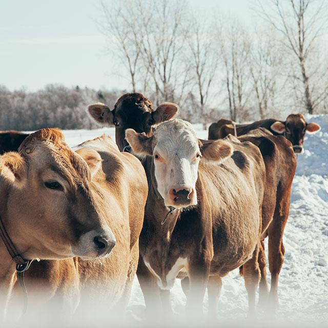 vaches_suisses_brunes_hiver