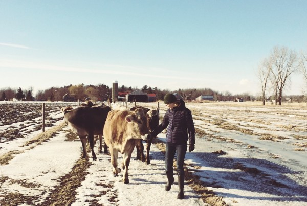 taures_vaches_hiver_champs